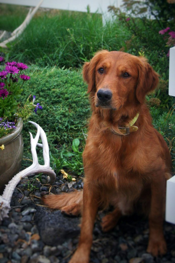 Roger, Trixie's Sire (SkyRiver Goldens)